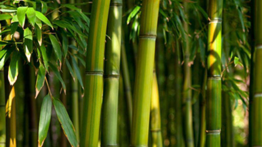 Foro de investigacion de la universidad tecnologica oteima - Tipos de bambu ...